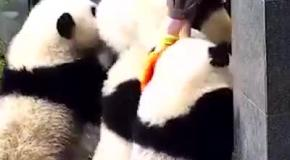 Панды ломятся на свободу