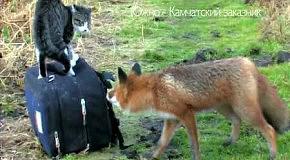 Кот и лиса. Знакомство