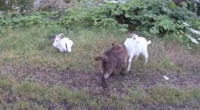 жили были два козла