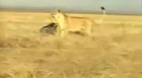 Кабан против львицы