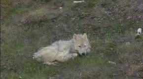 BBC. Жизнь животных. Плотоядные. Волк
