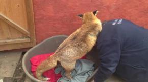 Мужчина спас лису из собачьего приюта.