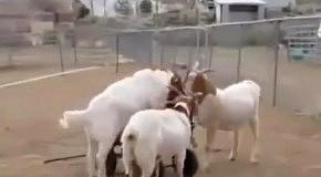 Козы катаются на тачке