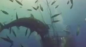 Как пердит акула