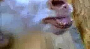 Поющая коза