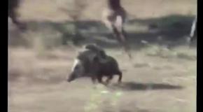 Обезьяны убегают на кабане - настоящие неуловимые мстители