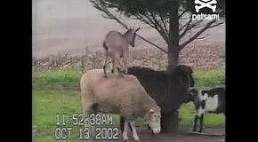 Коза использут барана