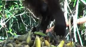 Очень жадная обезьяна