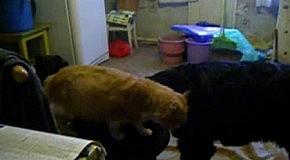 Единственный кот-главный кот...