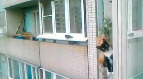 Рыжий и черный подглядывают на балконе
