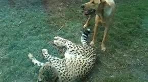 Гепард подружился с псом