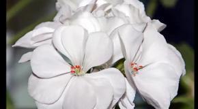Пеларгония (герань). Выращивание и уход.