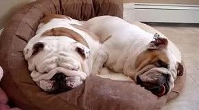 Спящие бульдоги