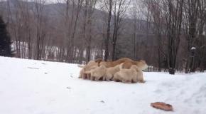 Семья ретриверов играет в снегу