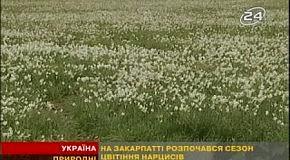 На Закарпатье цветут нарциссы