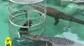 Плавание в клетке рядом с крокодилами