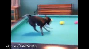 Собака играет в бильярд