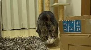 Кот Мару перед прыжком