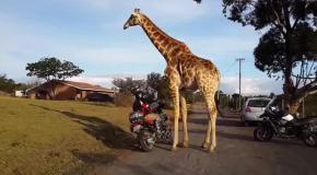 Жираф удивил байкеров желанием прокатиться на мотоцикле
