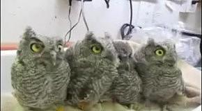 Сонные и удивленные совы