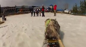 Опоссум катается на сноуборде