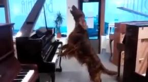 Собака пианист