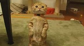 Найден кот из Шрэка :)