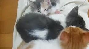 Котята спрятали спящего друга