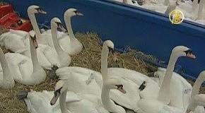 Гамбургские лебеди отправляются на зимовку