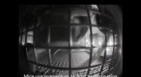 Мыши на МКС начали бегать кругами