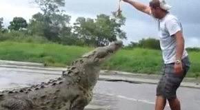 Кормление крокодила на публику