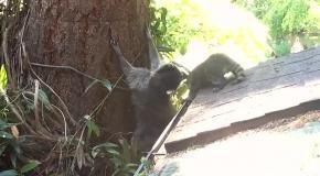 Мамочка-енот учит детеныша лазить по деревьям