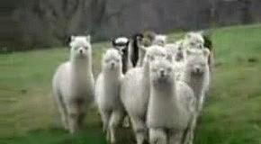 Лами ідуть