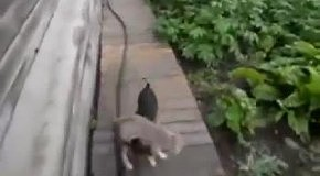 Собака несет кошку на спине