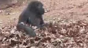 Сумасшедшая горилла