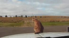 Крутой рыжий кот ничего не боится
