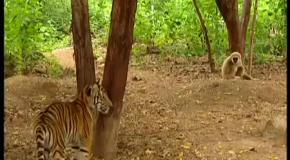 Гиббон дразнит тигров
