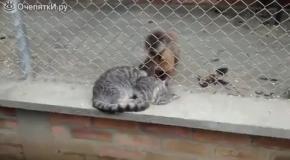 Обезьяна ухаживает за кошкой