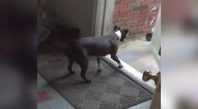 Собака загоняет кота домой