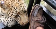 Леопард играет с ногой туриста