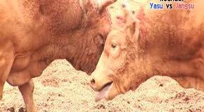 Кореи традиционных скота приходят смотреть бой
