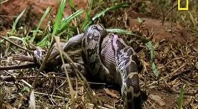 Крыса Бандикут vs. Крокодил и Питон