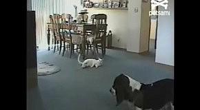 Кот с крысой не приняли собаку в борьбу