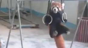 Красная панда упражняется на гимнастических кольцах