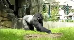 Горилла жестоко троллит работников зоопарка