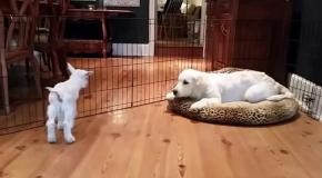 Знакомство щенка и козленка