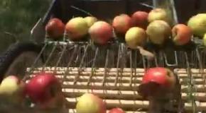 Как собирают яблоки за рубежом