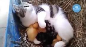 Кошка подкармливает утят