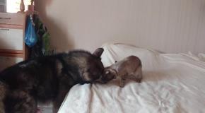 Смертельная схватка Маламута и Кота