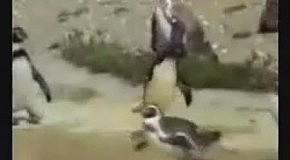 Пингвин клабер